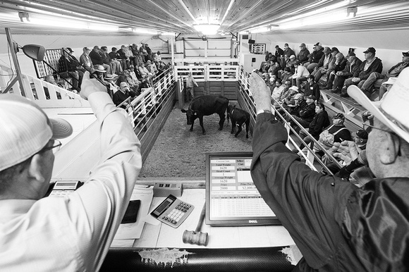 SOLD! Thousands of livestock funnel through Lanesboro Sales Commission each week